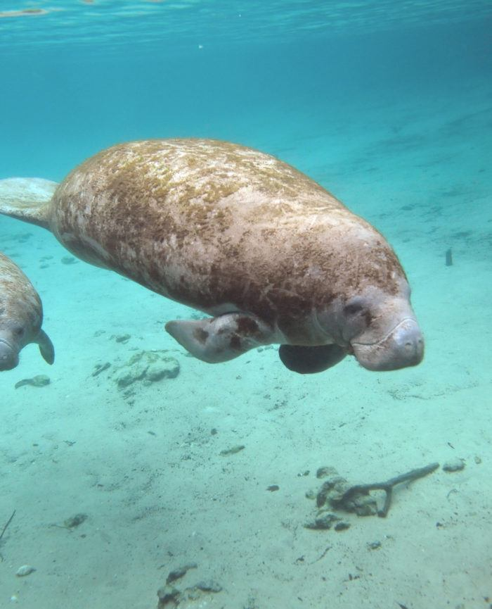 mama sea cow swimming with her baby